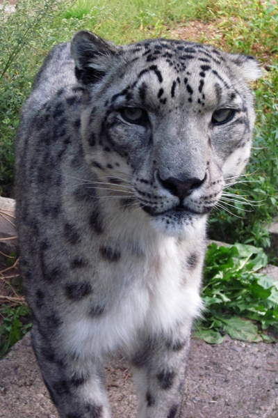 images/life/snowleopard.jpg